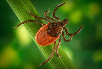 6 chorób przenoszonych przez kleszcze