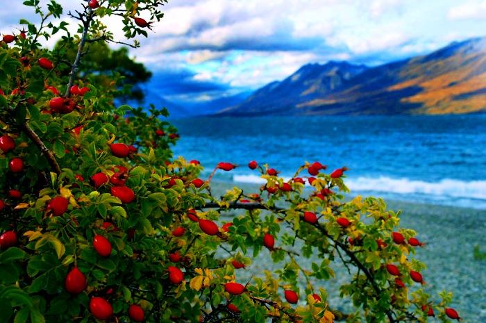 4 cudotwórcze właściwości dzikiej róży